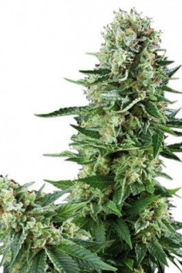 White Widow (Zativo Seeds)
