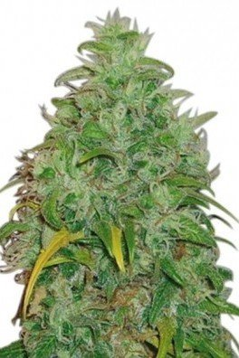 Original Skunk (Zativo Seeds)