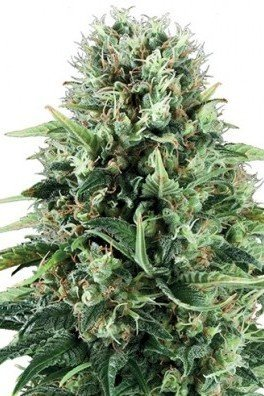 Mystical Blue (Zativo Seeds)
