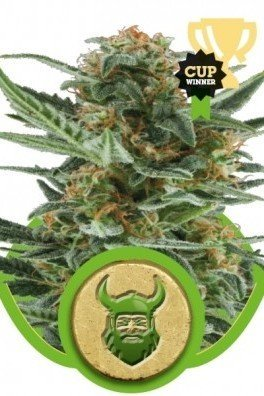 Royal Dwarf (Royal Queen Seeds)