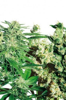 Feminized Mix (Sensi Seeds)