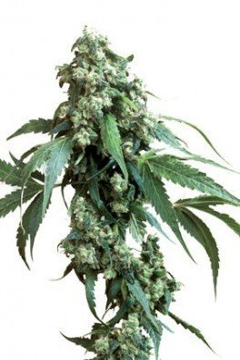 Jack Flash 5 (Sensi Seeds)