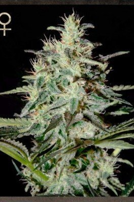 White Lemon (Strain Hunters)