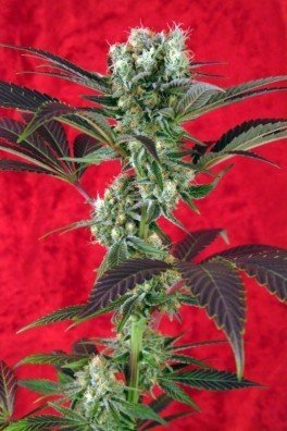 Blackdance (Reggae Seeds)