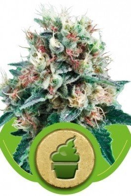 Royal Creamatic (Royal Queen Seeds)