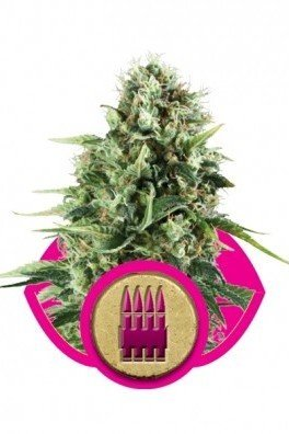 Royal AK (Royal Queen Seeds)