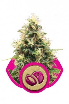 Somango XL (Royal Queen Seeds)