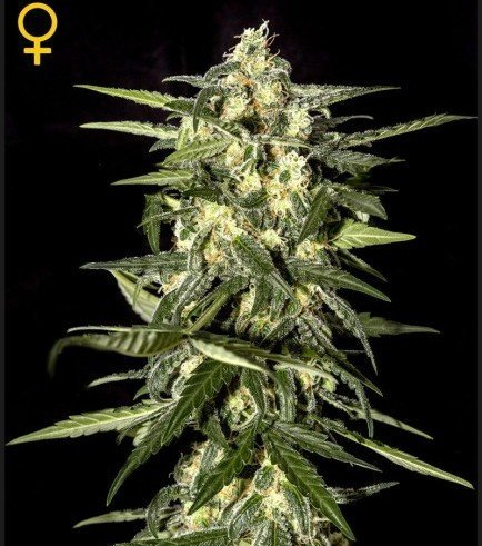 Jack Herer Auto (Greenhouse Seeds)