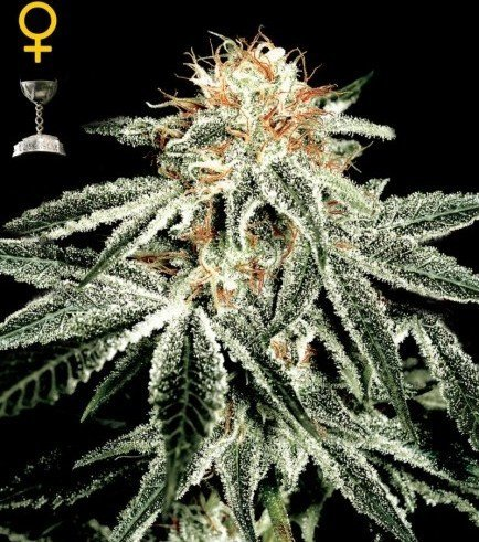 Big Bang Autoflowering (Greenhouse Seeds)