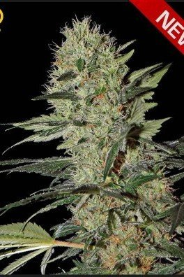 Exodus Cheese Autoflowering (Greenhouse Seeds)