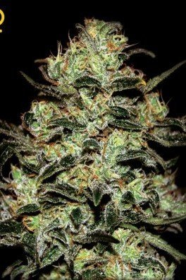 Moby Dick (Greenhouse Seeds)