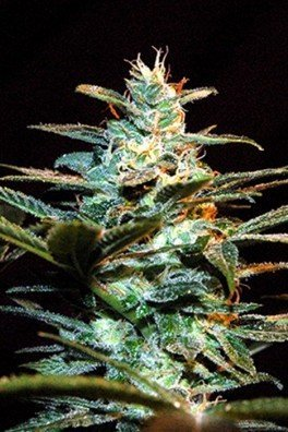 Ice Cool (Sweet Seeds)