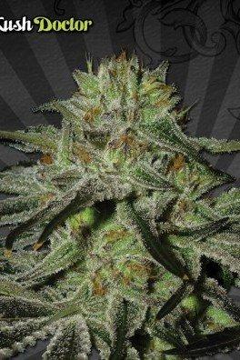 Kush Doctor (Auto Seeds)