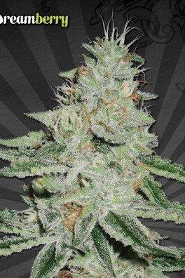 Dreamberry (Auto Seeds)