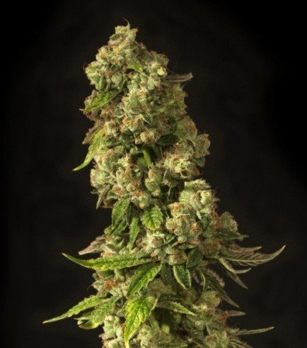 John Doe (Devil's Harvest Seeds)