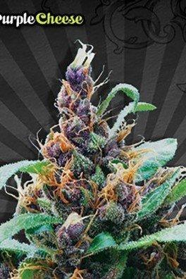 Purple Stilton (Auto Seeds)