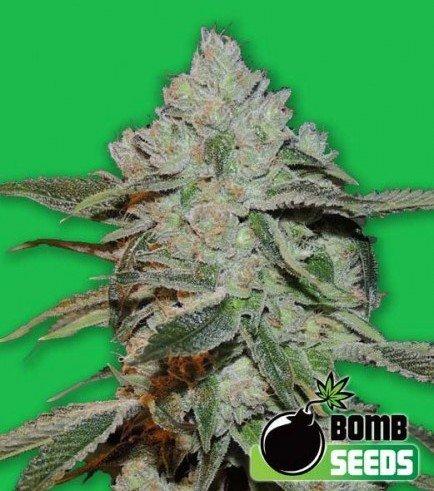 Atomic (Bomb Seeds)