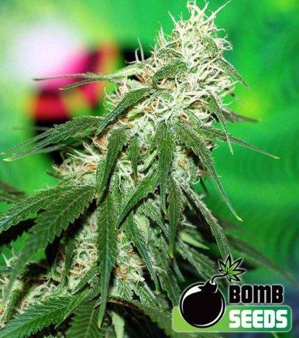 Buzz Bomb (Bomb Seeds)