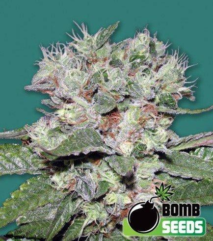 CBD Bomb (Bomb Seeds)