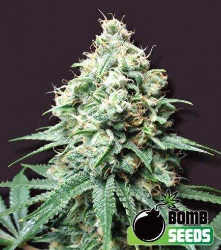 Kush Bomb (Bomb Seeds)