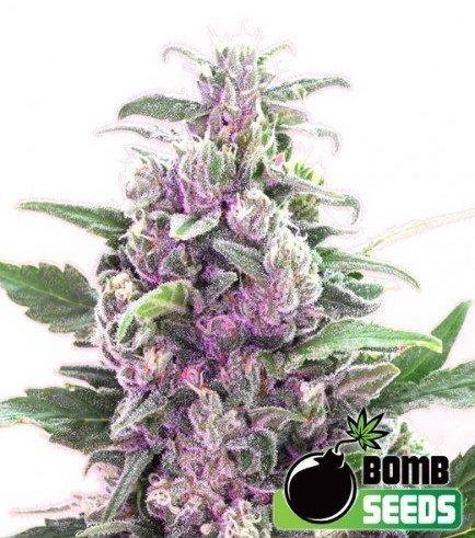 THC Bomb (Bomb Seeds)