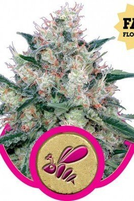 Honey Cream - Fast Flowering (Royal Queen Seeds)