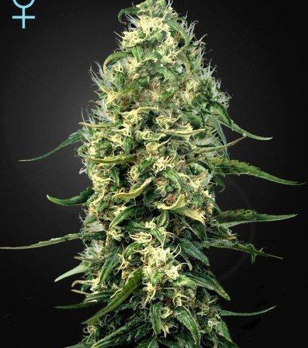 Super Silver Haze CBD (Greenhouse Seeds)