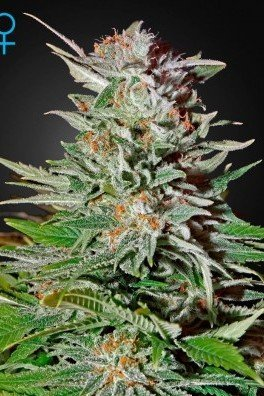 Super Lemon Haze Autoflowering (Greenhouse Seeds)