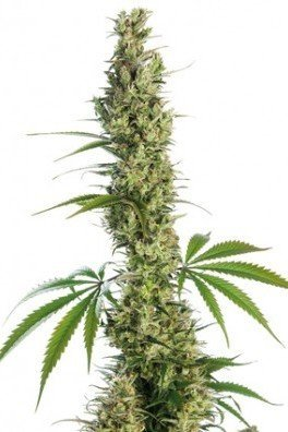 Eagle Bill (Sensi Seeds)