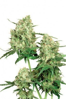 Maple Leaf Indica (Sensi Seeds)