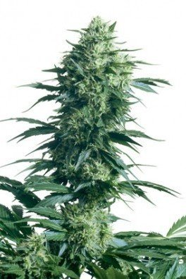 Mother's Finest (Sensi Seeds)