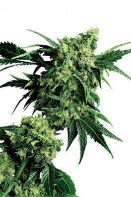 Mr. Nice G13 x Hash Plant (Sensi Seeds)