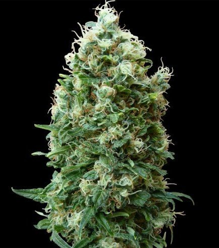 Phatt Fruity (Barney's Farm)