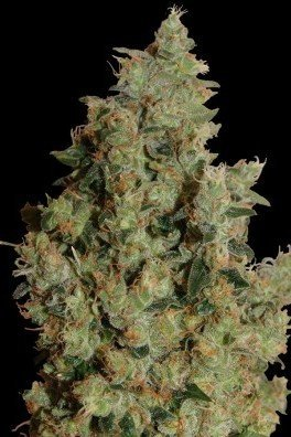Tangerine Dream (Barney's Farm)