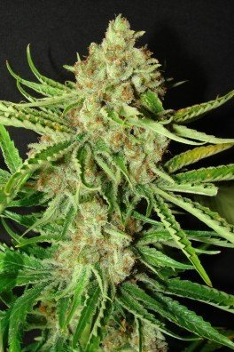 LA Ultra (Resin Seeds)