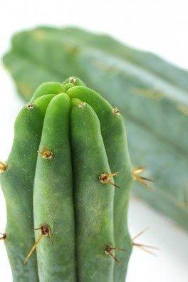Bolivian Torch Kaktus