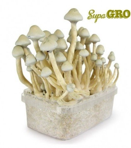 Magic Mushroom Grow Kit 'Albino A+'