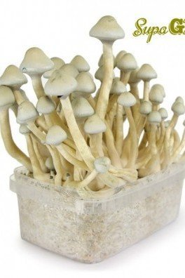 Magic Mushroom Grow Kit 'Albino A+'