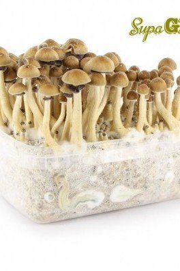 Magic Mushroom Grow Kit 'Hawaiian'