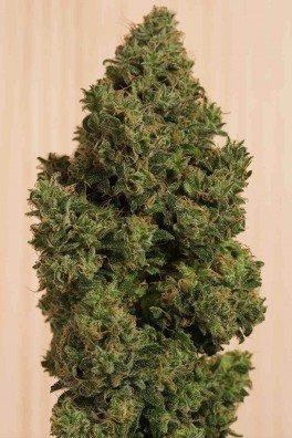 Blue Dream CBD (Humboldt Seeds)