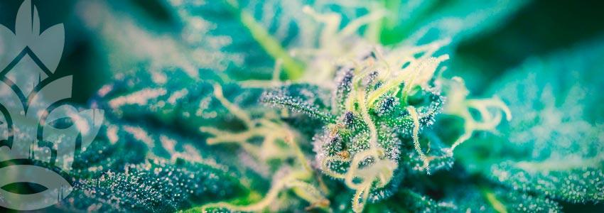 Cannabis Samen
