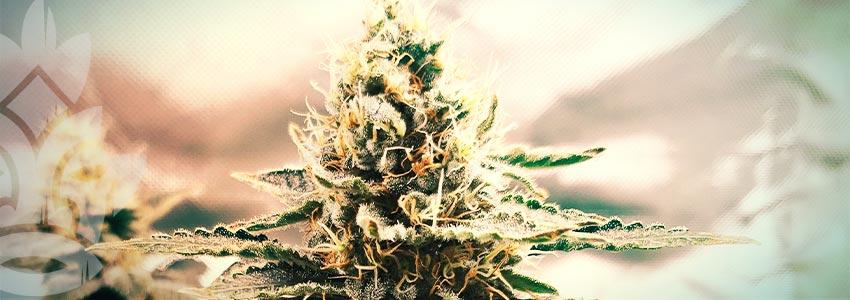 Finde Das Passende Medizinische Cannabis Für Dich