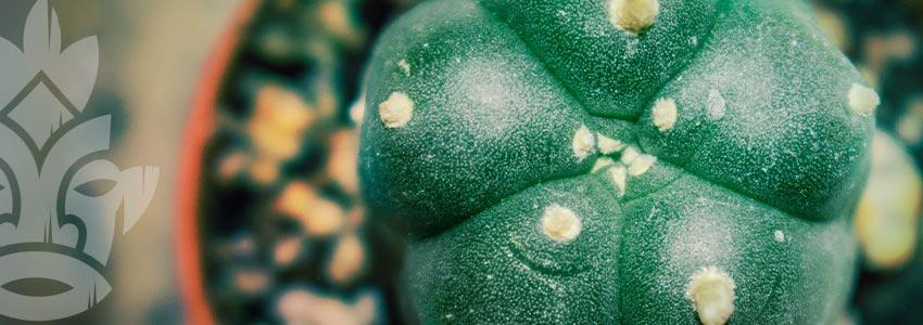 Peyote (Lophophora Williamsii)