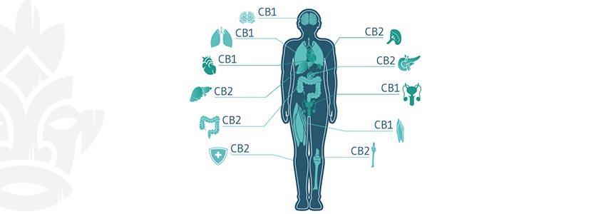 Welche Cannabinoide Machen Dich High?