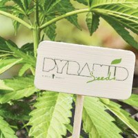 Zum kompletten Sortiment von Pyramid Seeds