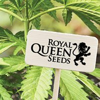 Zum Kompletten Sortiment Von Royal Queen Seeds