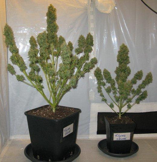 Gr 246 223 E Der T 246 Pfe F 252 R Cannabispflanzen Zativo