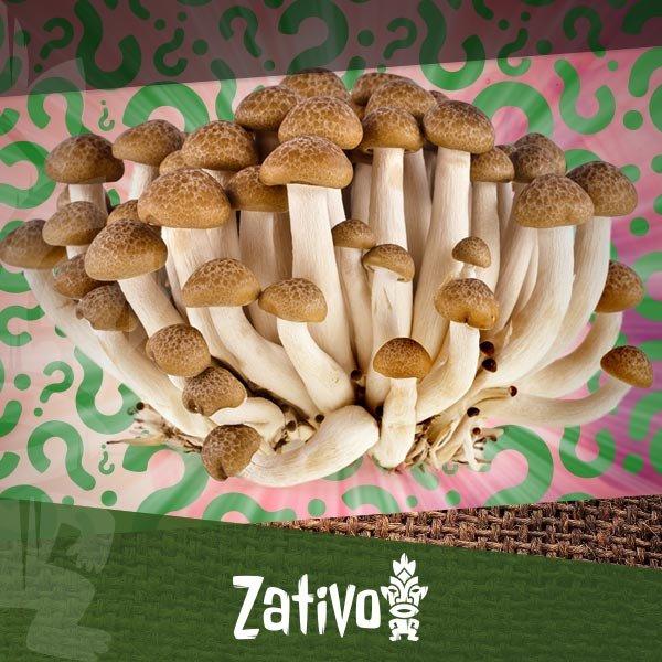 Zativo - Wie Du Deine Eigenen Magic Mushrooms Heranzüchtest