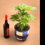 Neue Studie: Alkohol- vor Cannabiskonsum erhöht die THC Konzentration im Blut