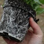 Vom Umgang mit wurzelgebundenen Pflanzen